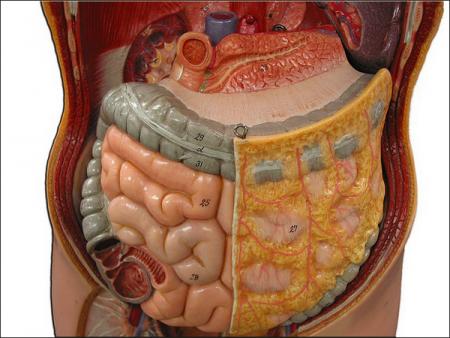 Строение брюшной полости человека