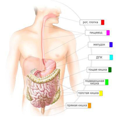 Строение желудочно-кишечного тракта человека