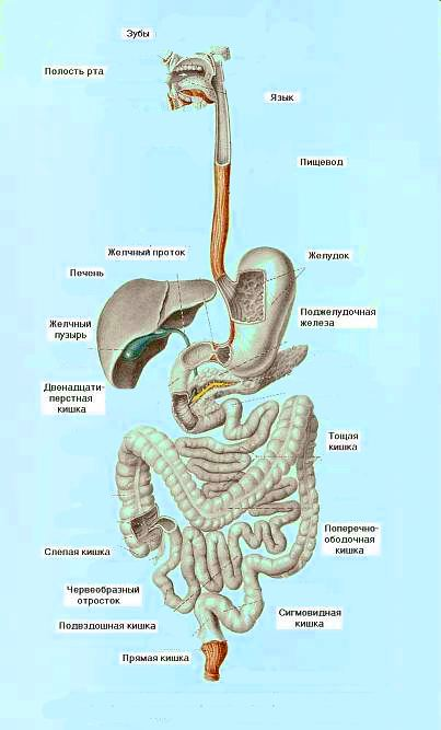 Схема системы пищеварения человека