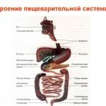 Строение пищеварительной системы человека
