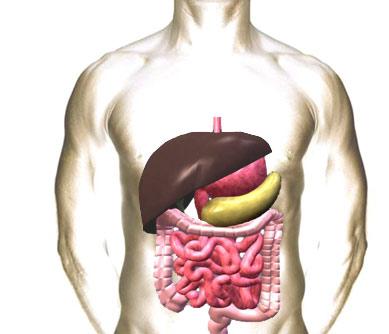 Строение системы пищеварения человека