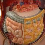 Строение органов брюшной полости человека