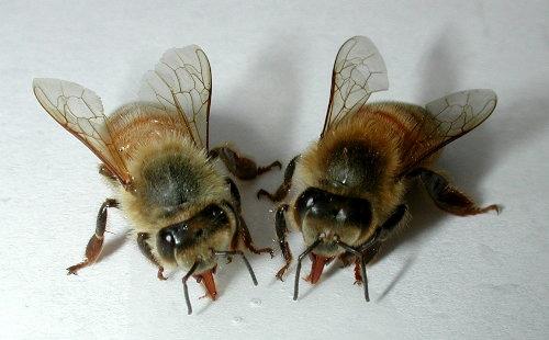 Подмор пчел при язве желудка thumbnail